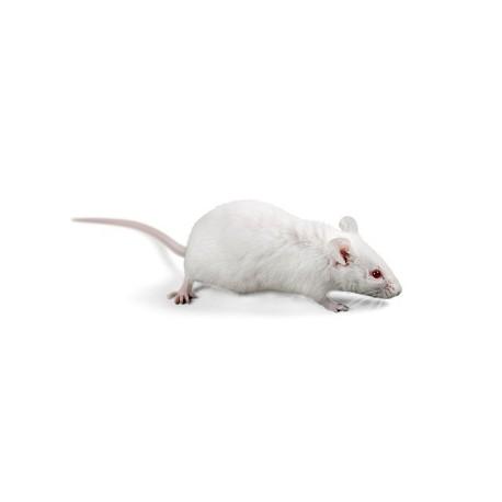 Rats petits