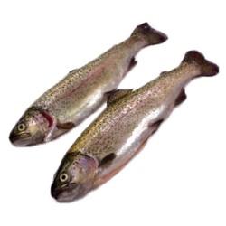 Trout (large)