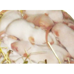 Baby mice (fuzzies/weaners)
