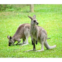 Extrudés Kangourou et Wallaby