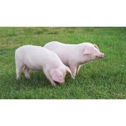 Farine pour Porcs