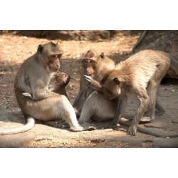Extrudés Primate Maintenance Biscuit