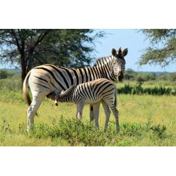 Granulés Antilope & Zebre