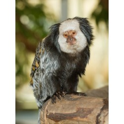 Marmoset 4mm